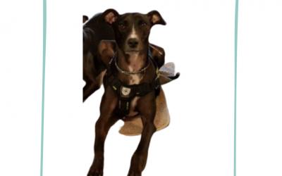 Toxoplasmose und SRMA beim Hund